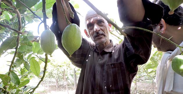 מאַראָקאַנער אתרוגים — אַ גוטע סחורה